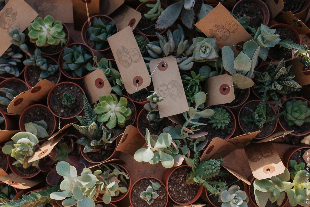 cadeau invité - plante succulente